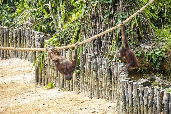 Semanggol, Malaysia: De apen