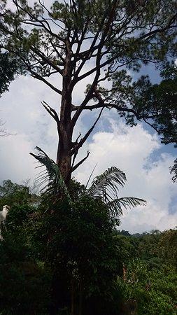Vinh Phuc Province, Vietnam: Cây thông ngàn năm tuổi