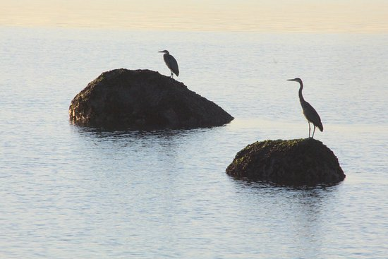 Camano Island, WA: Herons at the beach at sunrise