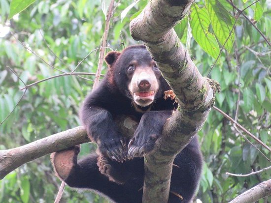 bears do climb trees picture of bornean sun bear conservation