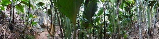 Pulau Praslin, Seychelles: Immense palm trees all around