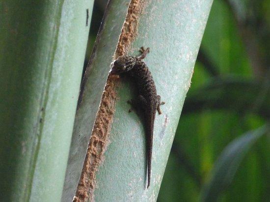 Pulau Praslin, Seychelles: Giant gecko, we think...