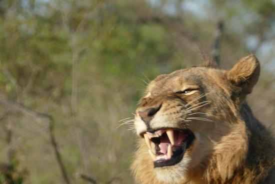 Arathusa Safari Lodge: lion during game drive