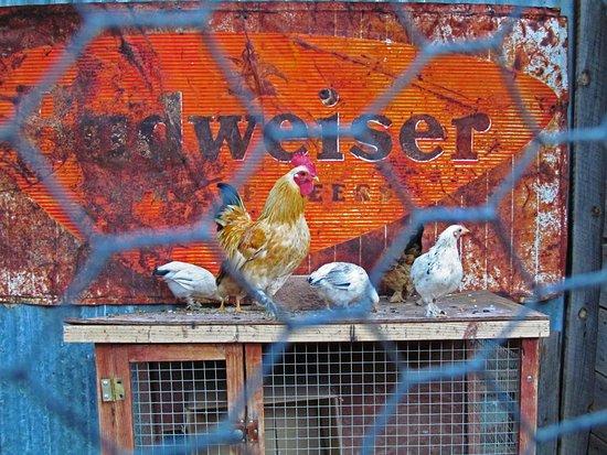 Jerome, AZ : Chickens
