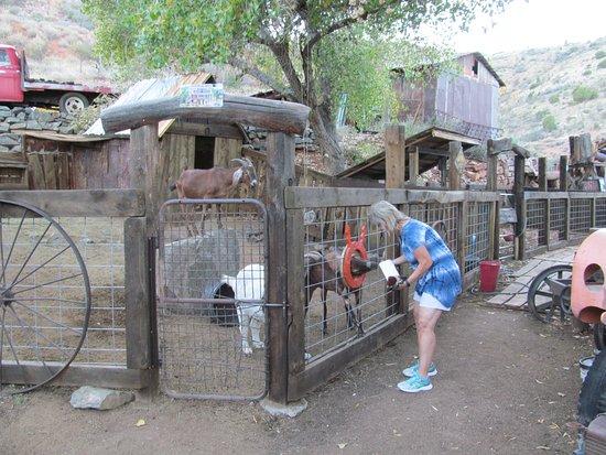 Jerome, AZ: Goats