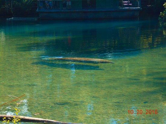 Homosassa Springs, FL: Manatee lagoon area