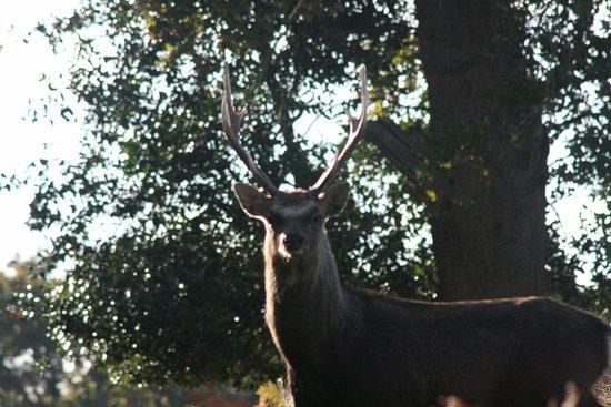 Arne, UK: Sika stag