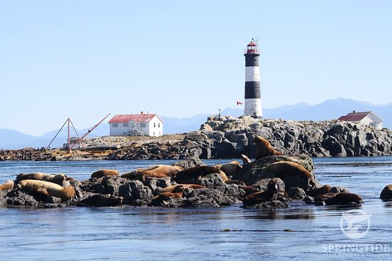 SpringTide Whale Watching & Charters: Sea Lions at Race Rocks Ecological Reserve, SpringTide Whale Watching, Victoria BC