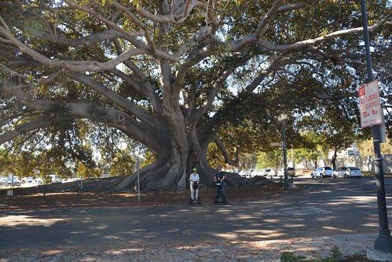 Segway of Santa Barbara: At the Morton Bay Fig - can you see us??