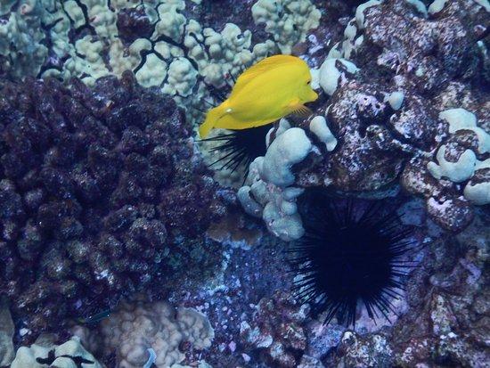 Wailuku, Hawái: Yellow Tang