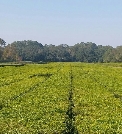 Charleston Tea Plantation: 20161117_200131_large.jpg