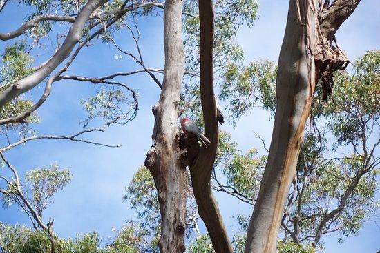 Cowes, Austrália: KCC - Papagei