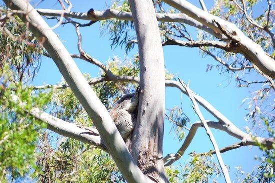 Cowes, Avustralya: KCC - Koala schläft