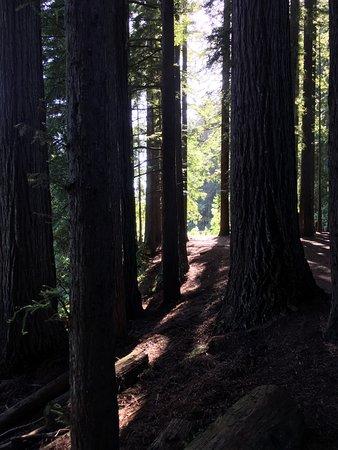 Hamurana, Nueva Zelanda: Coastal Redwood grove