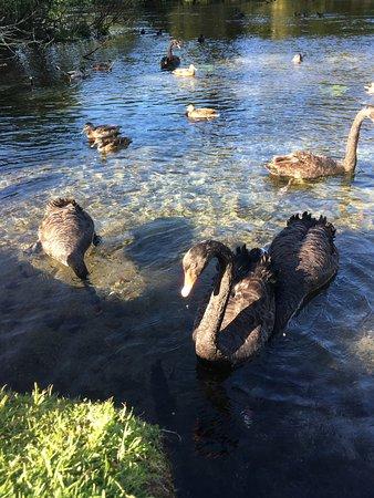 Hamurana, Nya Zeeland: Swans