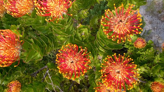 Overberg District, South Africa: Pincushion protea