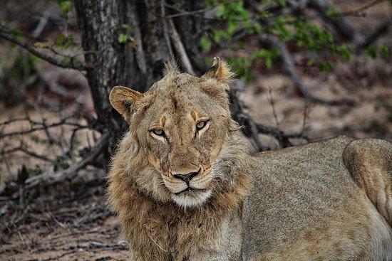 Timbavati Private Nature Reserve, Güney Afrika: on safari- lion