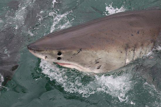 Mossel Bay, جنوب أفريقيا: shark