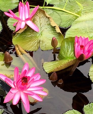 Kennett Square, PA: One of the many beautiful waterlillies