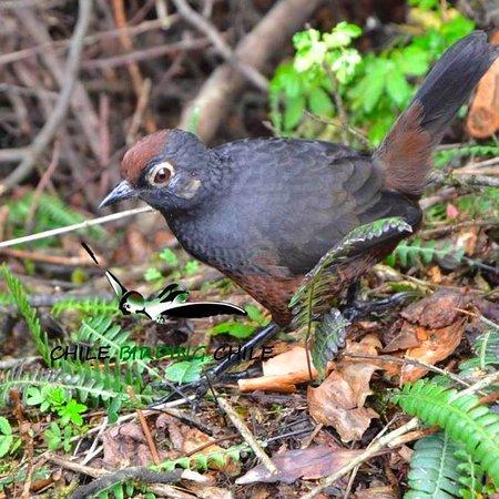 Chile Birding Chile
