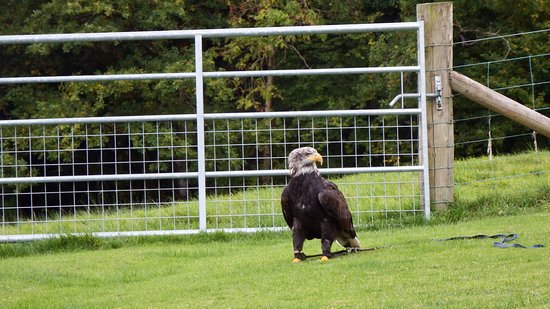 Machynlleth, UK: Eagle teaching Roy how not to fly an Eagle!!