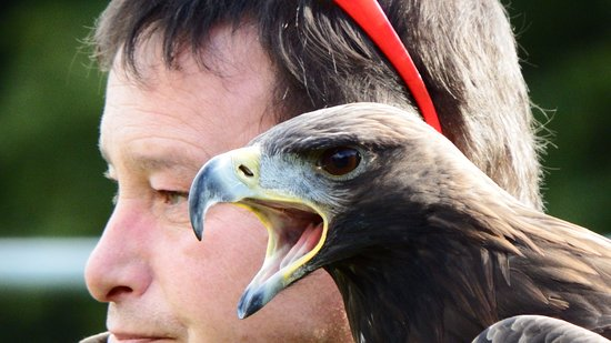 Machynlleth, UK: Golden Eagle, what a star