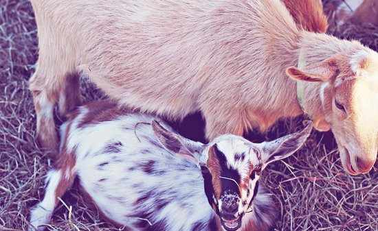 Granville, NY: Adorable baby goats