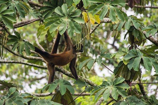 Santa Barbara, Costa Rica: Spider Monkey at the La Fortuna Hanging Bridges