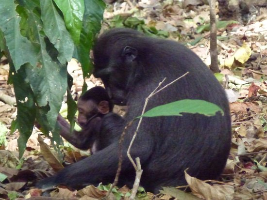 Mountain View Resort & SPA: Tangkoko Nature Reserve - our wildlife safari to observe endemic animals like the Black Macaque