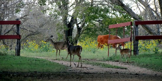 Stonewall, TX: Deer and steer roam freely