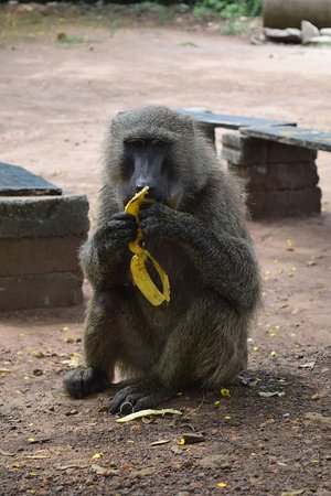 Greater Accra, Ghana: Olive Baboon at Registration
