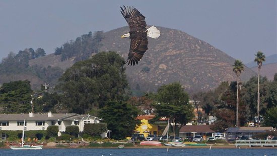Baywood Park, CA: Our visiting Bald Eagle with the Back Bay Inn in the background