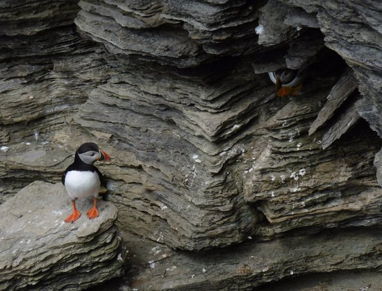 Stenness, UK: Puffins are hard to find but, if you visit at the right time of year, I know where to look.