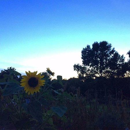 The Arboretum : Sunflowers at sunset