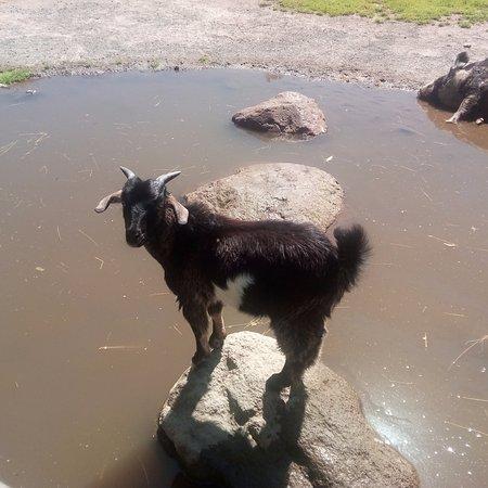 Paradise Valley Springs Wildlife Park: Goat