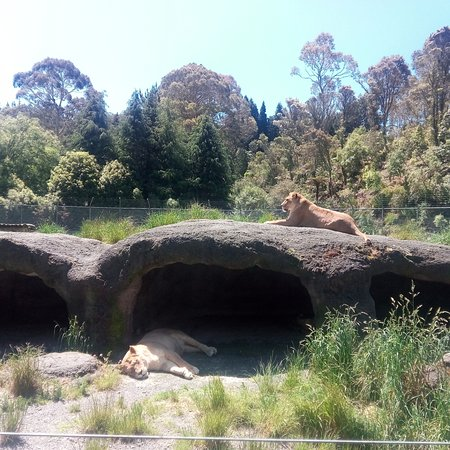 Paradise Valley Springs Wildlife Park: Lionesses