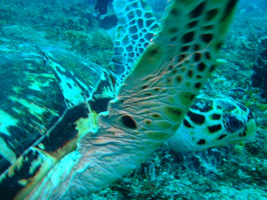 Phocea Mexico : Tortuga