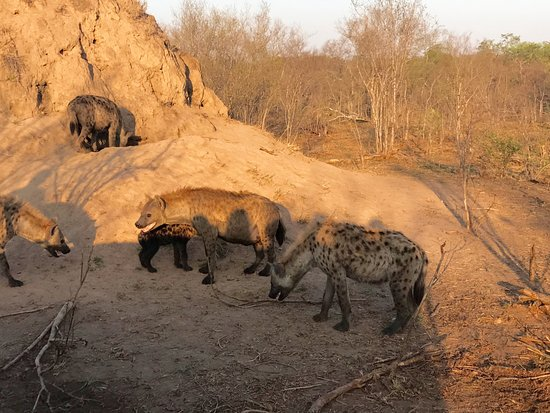 Elephant Plains Game Lodge: Hyena den!