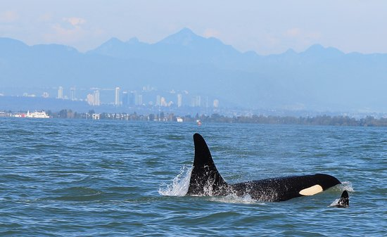 White Rock, Canada: Orca near Vancouver (background)