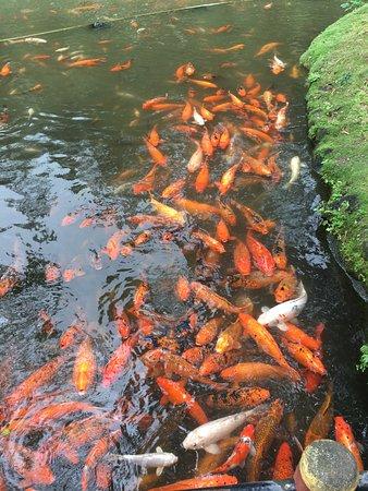 Kaneohe, Hawaje: Lots of large, well fed fish!