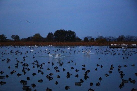 Hyokosuikin Park: 瓢湖の白鳥
