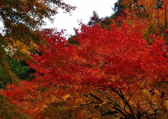 Oyada Shrine: 大矢田神社境内のヤマモミジ