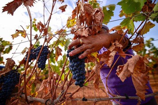 Pias, Portugal : A Vindima/ The Harvest