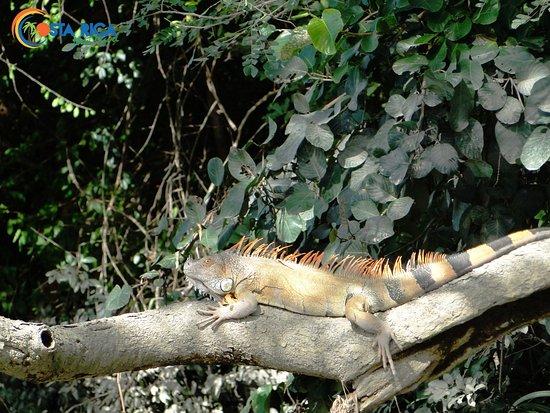 Provincia de Guanacaste, Costa Rica: Iguana in posa