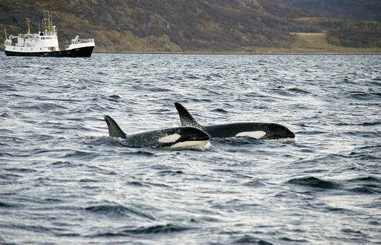 Sommaroy, Noorwegen: Two Orcas hunting for lunch!