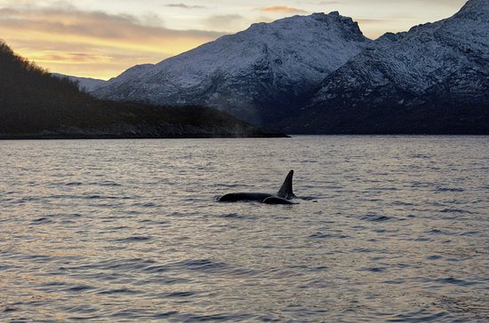 Sommaroy, Noorwegen: Orcas within a stunning seascape