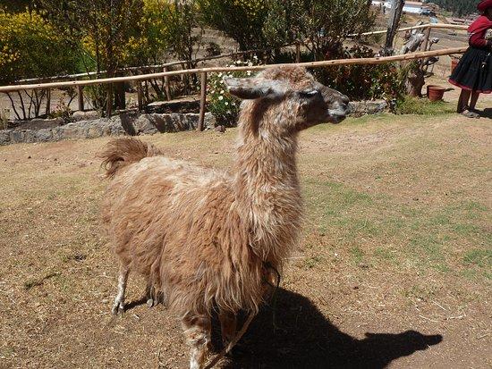 Chinchero, Peru: Lhama