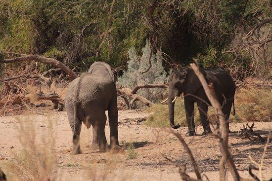 Ugab River: Desert elephants at the Ugab Bridge - C35