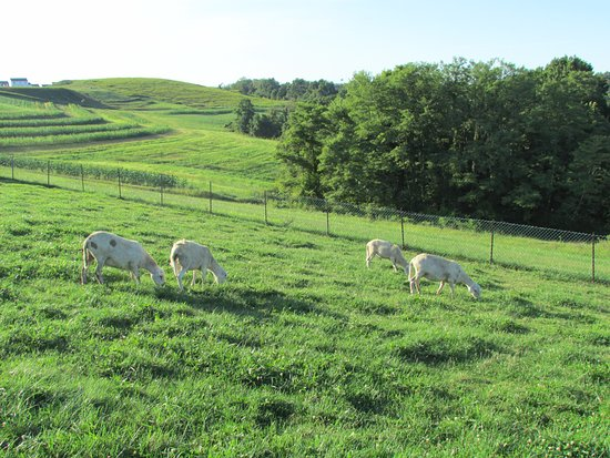 North Huntingdon, PA: The goats grazing on the property...beautiful!