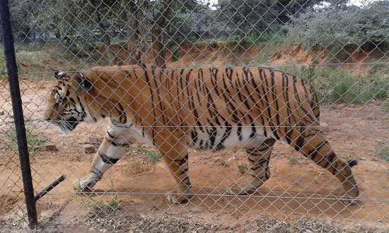 A Lovely Fat Tiger Picture Of Eventieria Vaalwater Tripadvisor